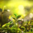 Cejloński lew - gwarancja jakości najlepszej herbaty